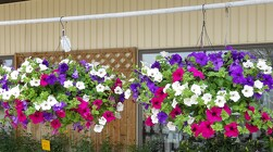Large Cocoa Hanging Baskets from Flowers by Ray and Sharon in Muskegon, MI