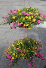 "2 10"" Petunia Hanging Baskets from Flowers by Ray and Sharon in Muskegon, MI"
