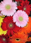 Gerbera Daisies by the bunch from Flowers by Ray and Sharon in Muskegon, MI