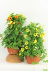 "2 Black Eyed Susan Baskets - 10"" from Flowers by Ray and Sharon in Muskegon, MI"
