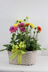 Dahlias in a triple basket from Flowers by Ray and Sharon in Muskegon, MI