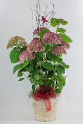 Hydrangea Bush Dressed Up from Flowers by Ray and Sharon in Muskegon, MI
