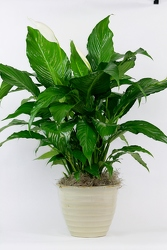 Peace Lily in Decorative Container from Flowers by Ray and Sharon in Muskegon, MI