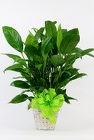 Peace Lily in a Basket from Flowers by Ray and Sharon in Muskegon, MI